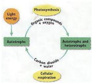 Holt biology photosynthesis and cellular respiration critical holt biology photosynthesis and cellular respiration critical thinking answers fandeluxe Choice Image